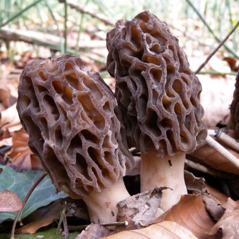 Black Morel Spores (Morchella Importuna)