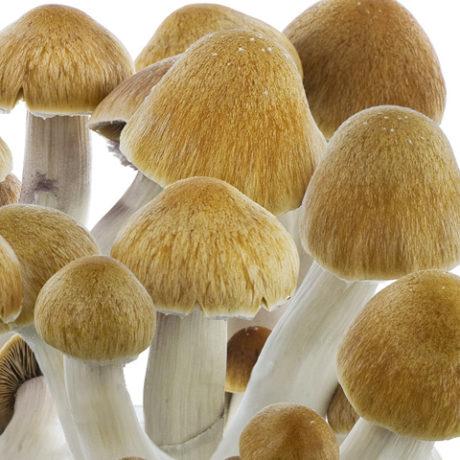 Ecuador Spores