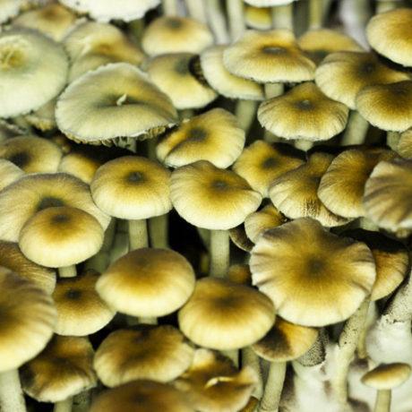 Nepal Chitwan Spores – SporeStore com
