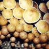 Plantasia Mystery Spores